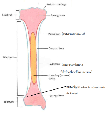 long bone image
